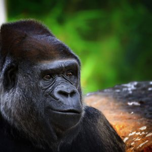Beautiful Portrait of a Gorilla. Male gorilla on black background, severe silverback. Portrait of a Gorilla on the green background.