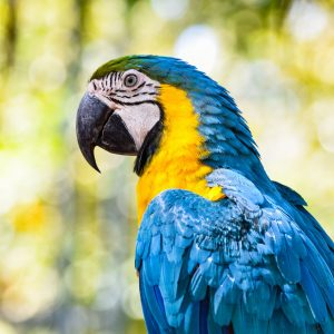 macaw birds parrot / colorful of blue and yellow macaw birds on branch tree - beautiful parrot bird jungle on nature green background - yellow blue wing macaw ara ararauna